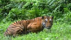 tiger census