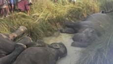 elephant-die